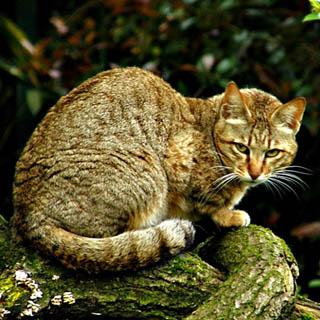 Дикий лесной кот Felis silvestris