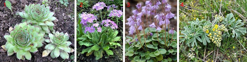 Розеточные растения для альпийских горок