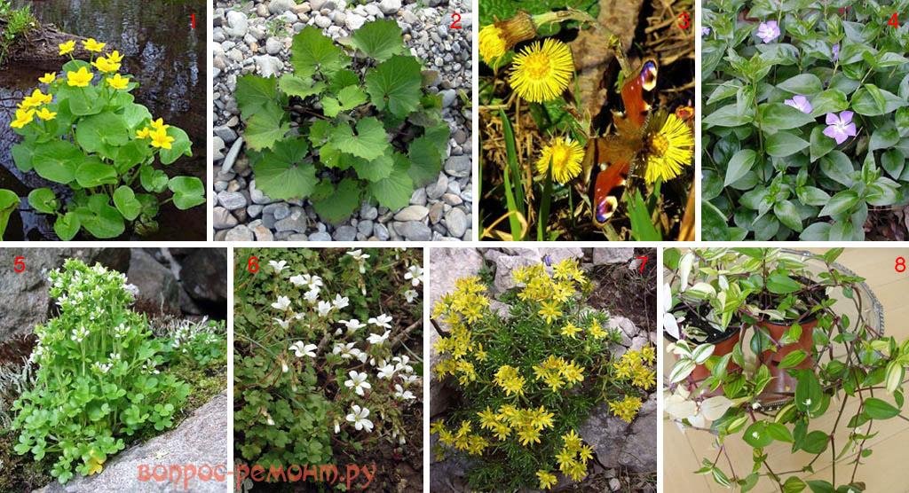 Околоводные растения для альпийской горки