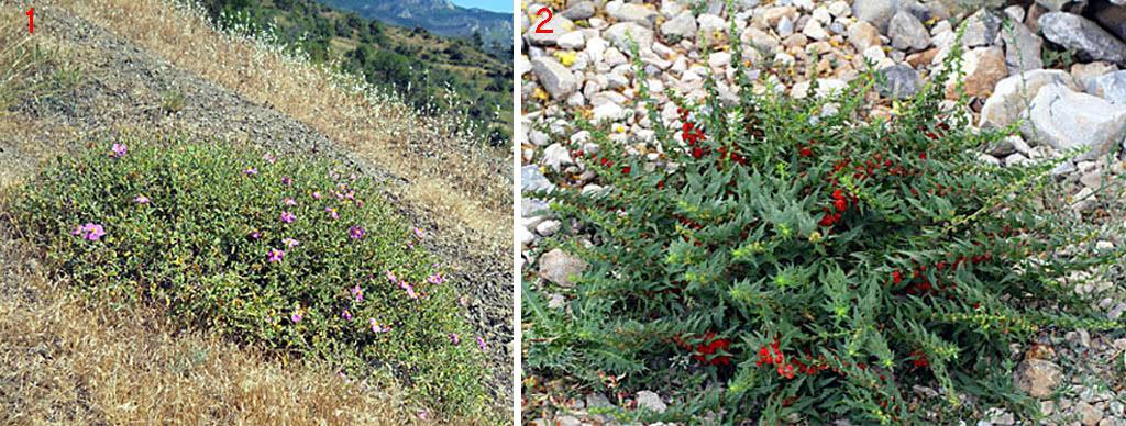 Подушечные растения для альпийских горок