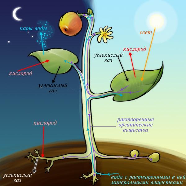 Схема дневного и ночного жизненных циклов растений
