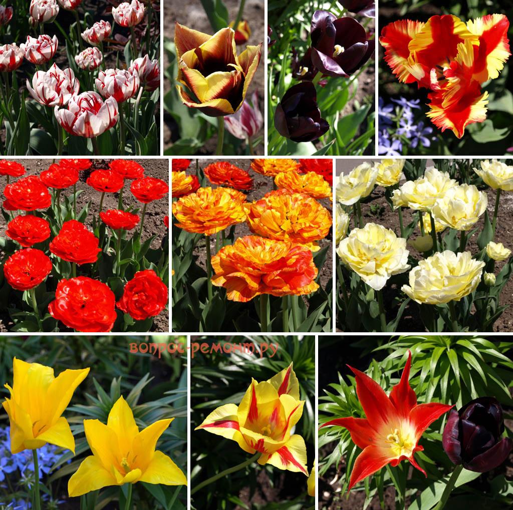 Сортовые гибридные тюльпаны