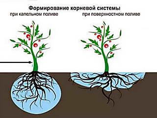 Влияние капельного полива на развитие корневой системы растений