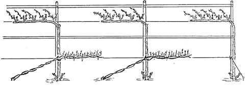 Форма роста культурного виноградного куста, напоминающая естественную