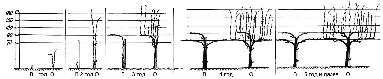 Формирование виноградного куста многоярусным гребнем
