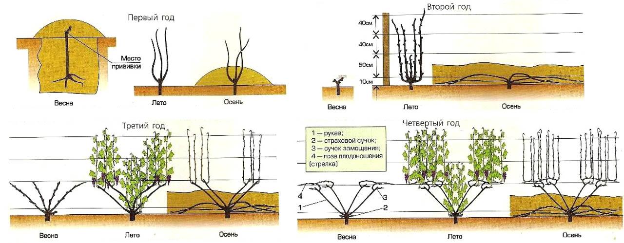 Формирование виноградного куста веером на низком штамбе