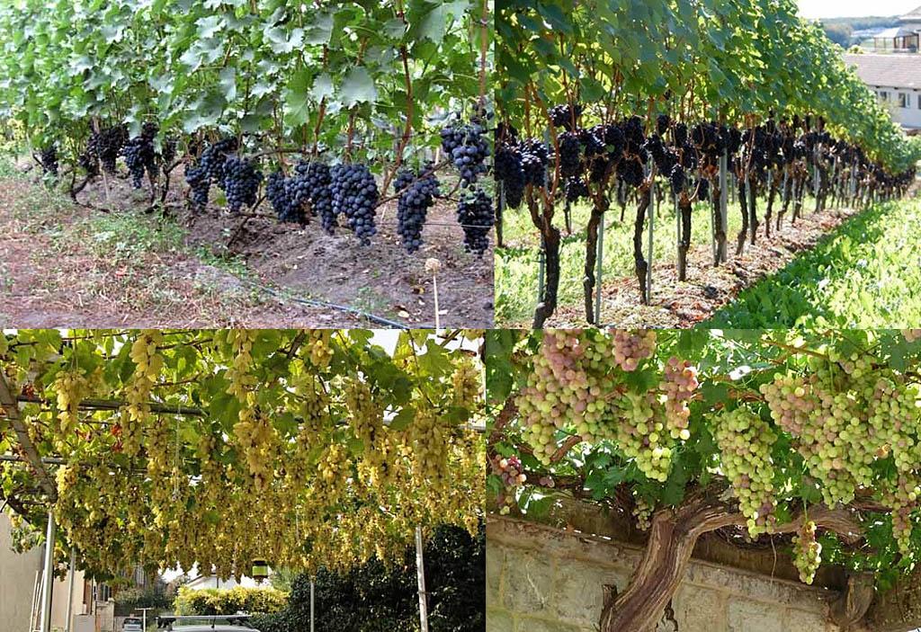 Формы роста культурного винограда