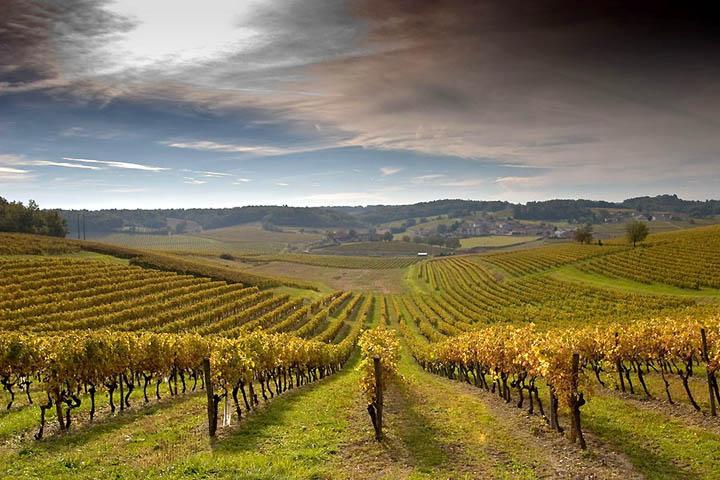 Шпалерный виноградник осенью