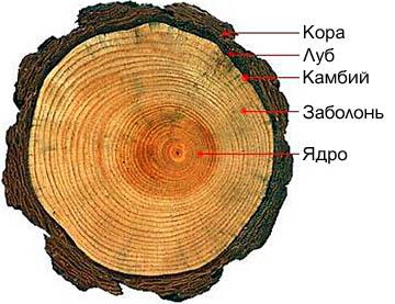 Строение спила бревна хвойного дерева.