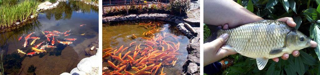 Рыба для дачных прудов
