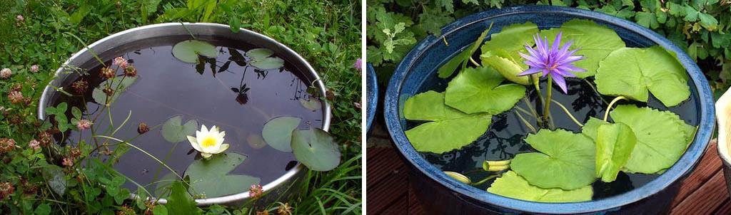 Нимфеи (водяные лилии) в бочках