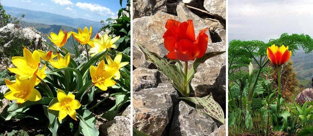 Дикие тюльпаны Кауфмана, Фостера и Грейга в естественной среде обитания