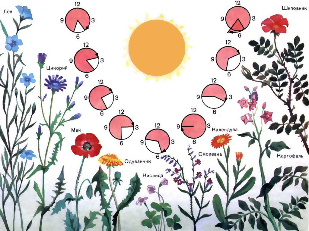 Растения для цветочных часов