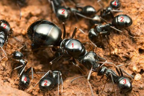Касты муравьев