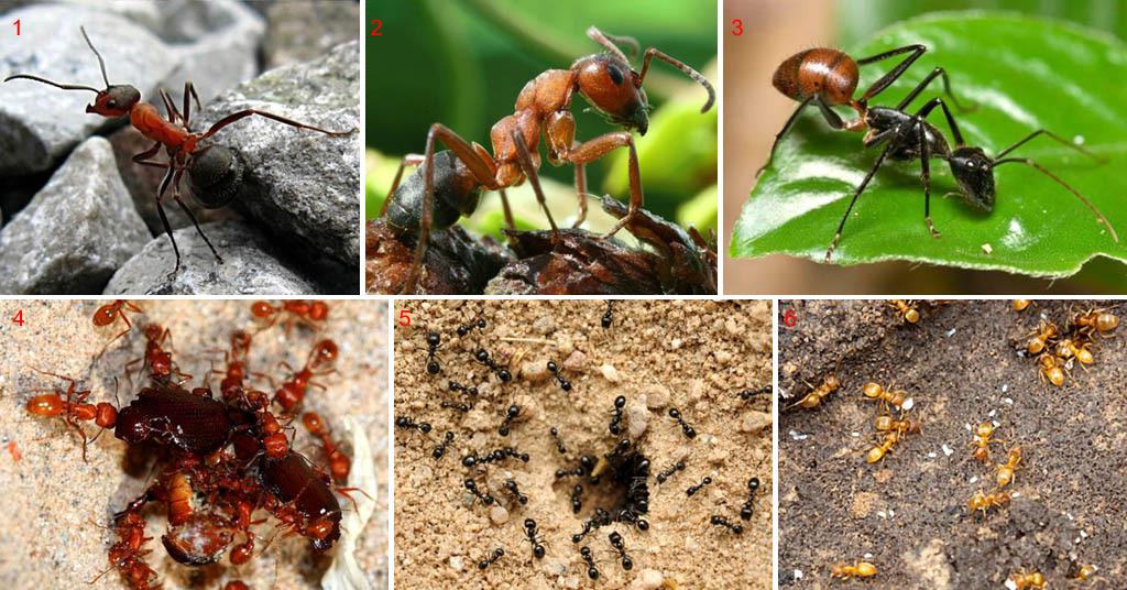 Распространенные виды муравьев
