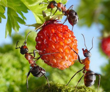 Рыжие муравьи, объедающие ягоду