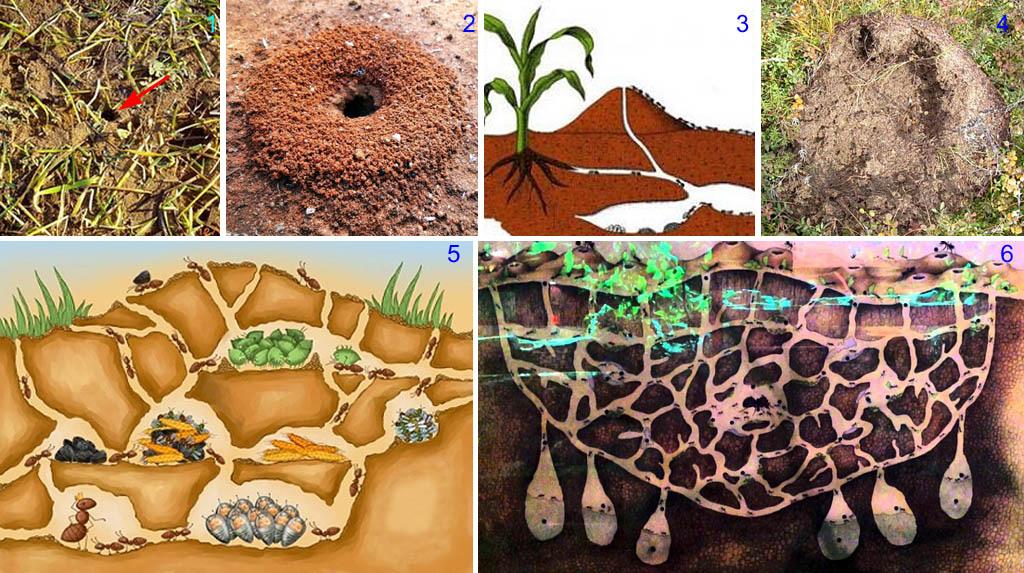 Развитие муравейников земляных муравьев