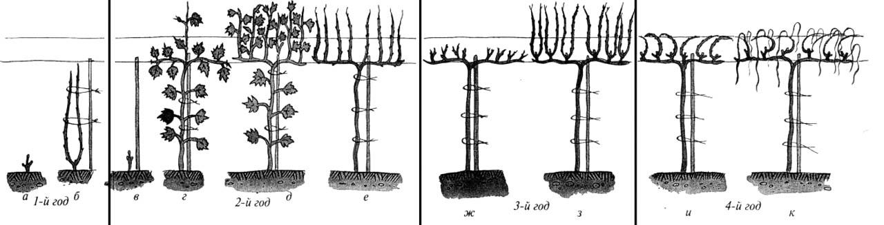 Формирование виноградного куста веером на среднем штамбе